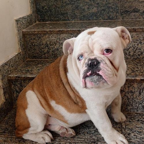 Imagem 1 de 8 de Bulldog Inglês Exótico Disponível
