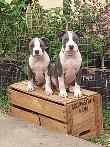 Filhotes De American Staffordshire Terrier