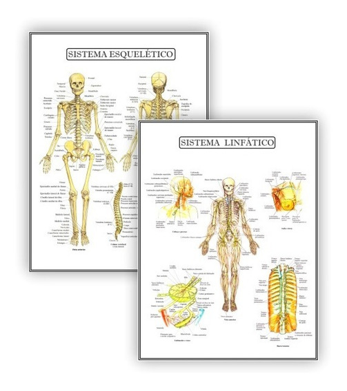 Posteres Educação Fisio Esquelético Linfático - Plastificado