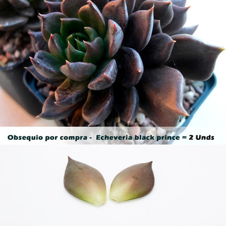 Semillas De Suculentas 50 Unidades + Obsequio