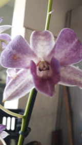 12 Mudas De Orquídea Denfal Adultas Sem Flor