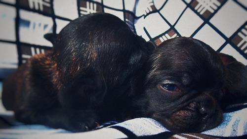 Imagen 1 de 3 de Cachorros Bulldog Francés