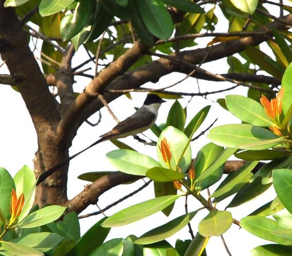 Arbol De Santa María Calophyllum Brasiliense Guanandí V I H