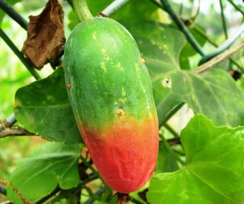 Sementes Ivy Gourd Coccinia Fruta Trepadeira Pepino Vermelho