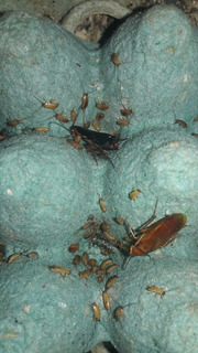 Cucarachas Micro Runner X 50 Alimento Vivo Gecko Erizo