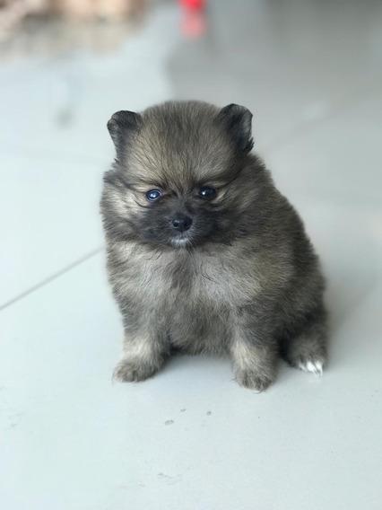 Hembra Pomeranian Spitz Enano