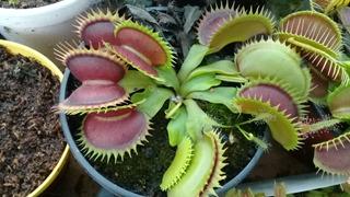Planta Carnívora Venus Atrapamoscas Maceta N° 6 [con Envio]