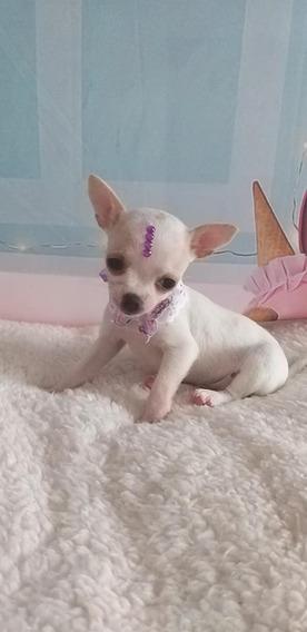Chihuahua, Fêmea, Branco Dourado, Pedigree Cbkc Frete Grátis