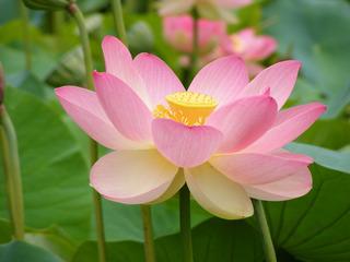 Semillas Flor De Loto Variados Colores 10 Piezas