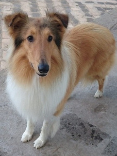 Rough Collie Para Monta