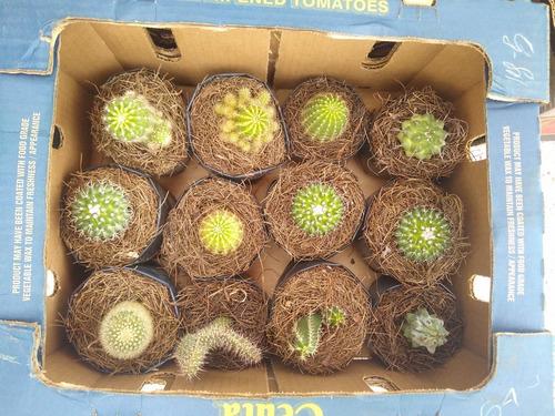 Imagen 1 de 8 de Caja De Cactus Y Suculentas 12pzs / Para Maceta De 4