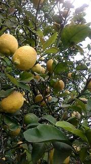 Limones Orgánicos Sin Pesticidas