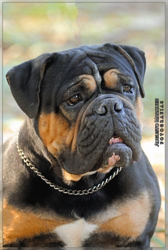 Imagem 1 de 6 de Bulldog - Old English Bulldog - Macho