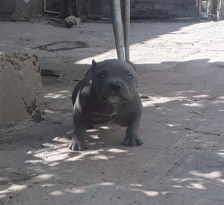 American Bully Micro Extreme
