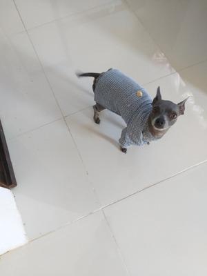 Perro Chihuahua Para Monta