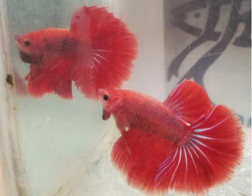 Pez Betta (piura) Efrafish