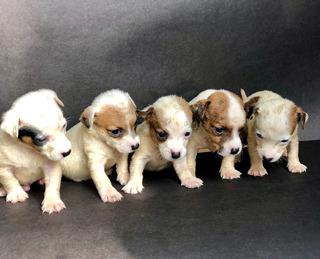 Cachorros Originales Jack Russell