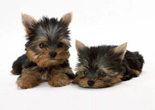 Yorkshire Terrier Yorky York Hermosos Cachorros Op/pedigri