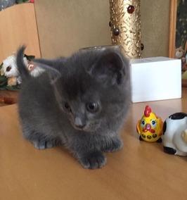 Munchkin O Gato Anão Apaixonante