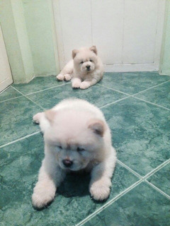 Chow Chow Cachorros