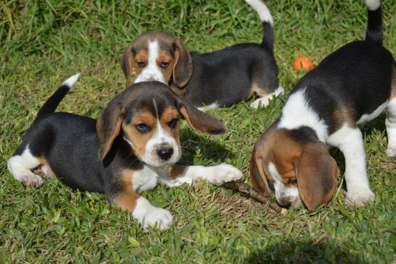 Beagle Cachorros Tricolor Rapa Nui
