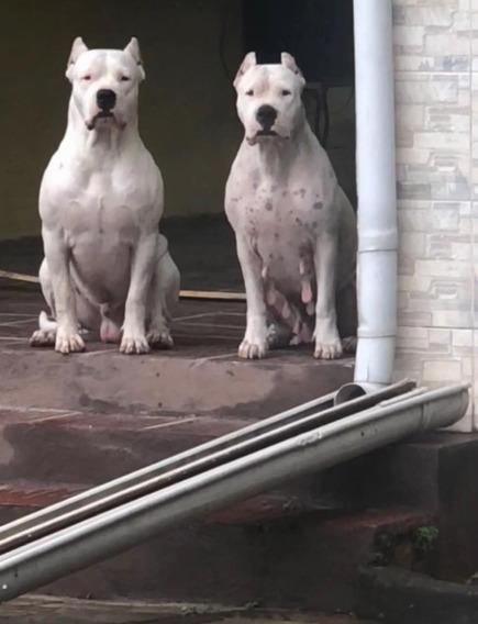 Filhotes De Dogo Argentino Pedigree Cbkc! Lindos! Top! Top!