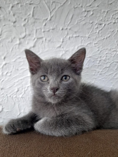 Gato Cinza Exótico