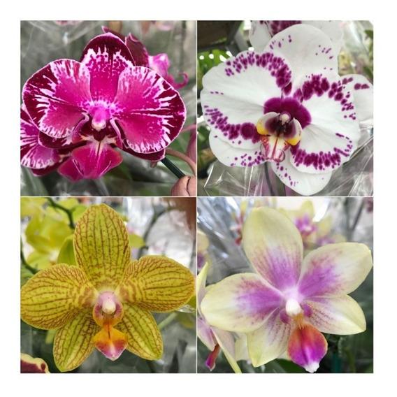 Pacote 10 Mudas De Orquidea Phalaenopsis Lindas Frete Grati