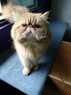 Gato Persa Extremo Peke Face Para Monta