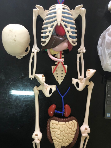 Esqueleto De Anatomia Humana Medicina Do Corpo Faltando Peca