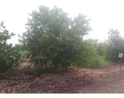 La Huerta Del Limón Persa, Hectáreas De Terreno Agrícola En Venta