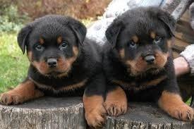 Cachorros Rottweiler !