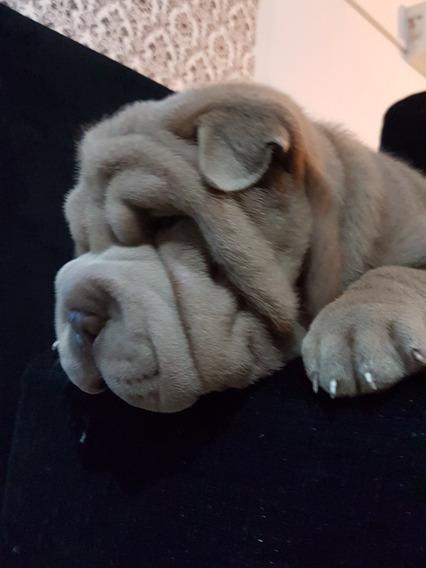 Cachorro Shar-pei