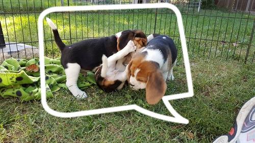 Cachorros Beagle Chocolate Tricolor