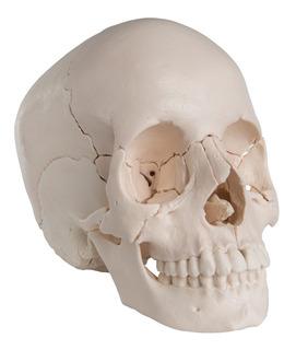 Craneo Desarmable Medicina Anatomía Kinesiologia Osteopatia