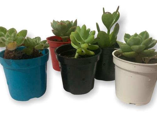 Imagen 1 de 8 de Plantas Suculentas Mini En Matera Plástica