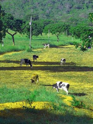 Fazenda De Leite - Com 40 Ha - Porteira Fechada - 70 Vacas- 21 Novilhas - Ordenhadeira- 02 Casas - Galpão - Toda Estruturada - 2242