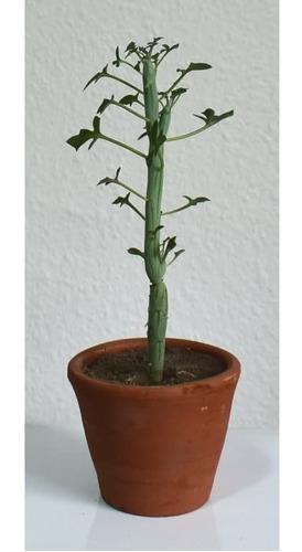 Imagen 1 de 4 de Planta Senecio Articulatus