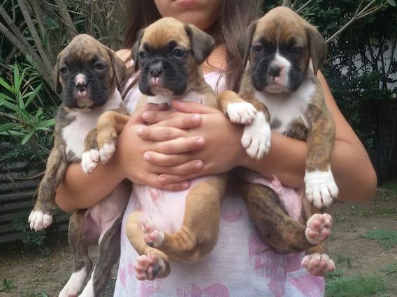 Cachorros Boxer Machos Bayos.no Acept Oferta Sin Ver Antes