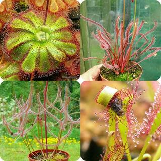 Plantas Carnivoras Drosera En Varias Especies Diferentes
