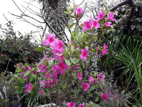Azalea Fucsia Hermosa Planta Ramificada En Bolsa 10 Lts.