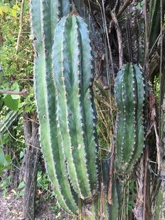 1 Esqueje De Cactus Organo Mexicano, Coleccionistas Cardón Gigante Columnar (pachycereus Pringlei)