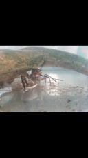 Langosta Australiana Reproductores