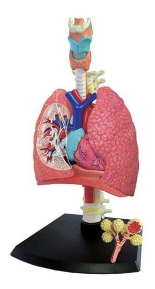Sistema Respiratório/pulmão - 4d Master