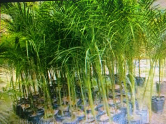 10 Mudas De Palmeira Jussara(50cm)