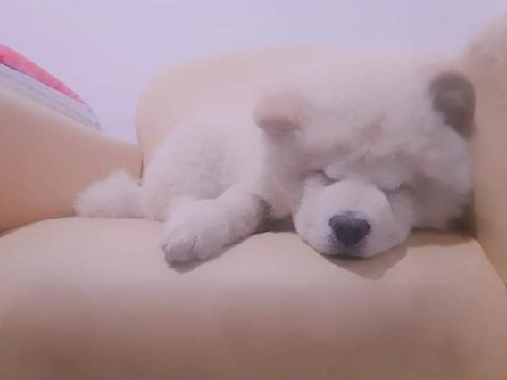 Cachorro Chow-chow Crema / Ago Envios