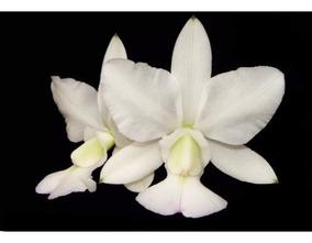 Orquídea Cattleya Walkeriana Albescens
