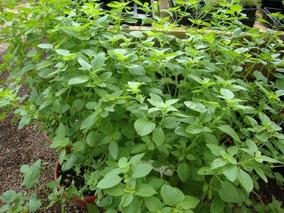Kit Sementes 50 De Manjericão + 20 De Tomate Yellow Plum
