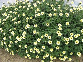 Xanana Chanana 150 Sementes Plantar