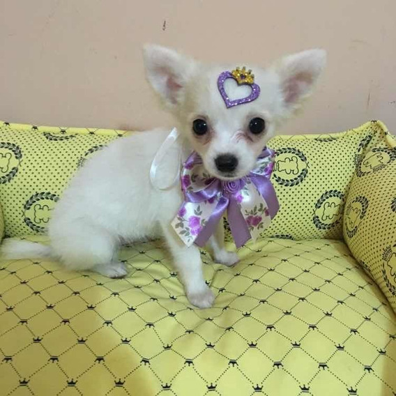Femea De Chihuahua Pl